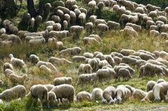 在牧场地的Sheeps 库存照片