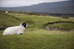 在牧场地约克夏山谷约克夏英国的绵羊 免版税库存照片