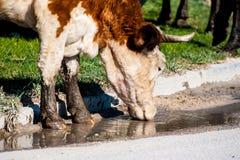 在牧场地,特写镜头的母牛 免版税库存图片