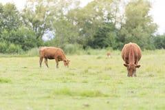 在牧场地,瑞典的母牛 库存图片