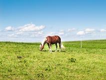 在牧场地(177)的马 免版税库存图片