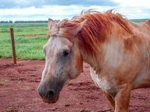 在牧场地percheron的白马肮脏的泥 库存图片