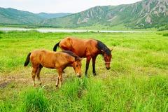 在牧场的马 免版税库存图片