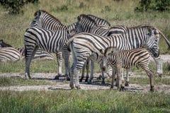 在牧群之间的斑马小牛 免版税库存照片