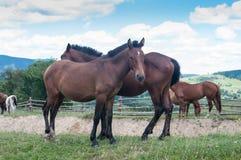 在牧群的两匹马在草吃草在村庄 免版税图库摄影
