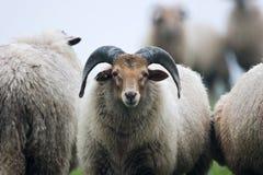 在牧群的公羊 免版税库存照片