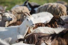在牧群的山羊 库存图片