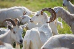 在牧群的山羊 库存照片