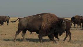 在牧群的狂放的男性北美野牛 股票录像