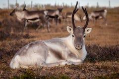 在牧群背景的白色驯鹿  免版税库存照片