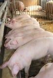 在牲口交配动物者的猪圈的许多桃红色猪 免版税库存照片