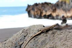 在特内里费岛,加那利群岛的蜥蜴 免版税库存照片