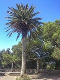 在特内里费岛的棕榈树 免版税库存照片