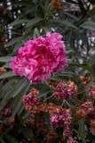 在特写镜头射击的紫色夹竹桃花 库存图片