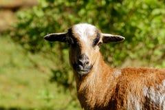 在特写镜头的一只好的绵羊 库存照片
