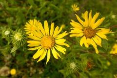 在特写镜头的晴朗的黄色延命菊 免版税库存图片