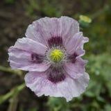 在特写镜头的紫色鸦片 仅头状花序 图库摄影