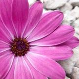 在特写镜头视图的一朵紫色海角延命菊花 免版税库存照片