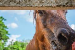在特写镜头马明亮的天面孔焦点的马  免版税图库摄影