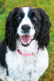 在特写镜头之外的愉快的英国斯伯林格西班牙猎狗狗 免版税库存图片