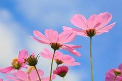 在特写镜头拍摄的波斯菊桃红色花 库存图片