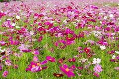 在特写镜头拍摄的波斯菊桃红色花 免版税库存图片