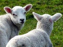 在特写镜头的两只新出生的春天羊羔在草 免版税库存图片