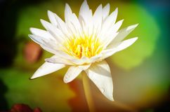 在特写镜头的开花的莲花 库存照片