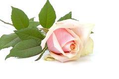 在特写镜头的桃红色玫瑰在白色背景 图库摄影
