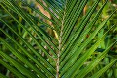 在特写镜头的棕榈树叶子为夏天和春天设计使用 免版税图库摄影