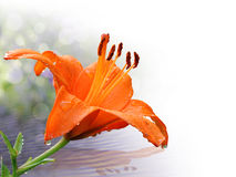 在特写镜头的橙色百合与水下落 免版税库存图片