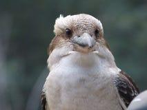 在特写镜头的Kookaburra 库存照片