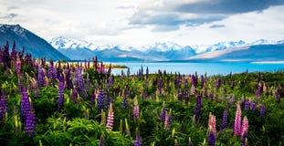 在特卡波湖的开花的羽扇豆 库存图片