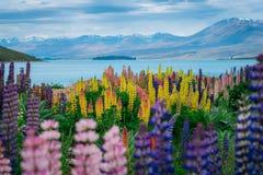 在特卡波湖羽扇豆领域的风景在新西兰 图库摄影