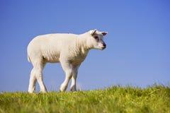 在特塞尔,荷兰海岛上的特塞尔羊羔  库存图片
