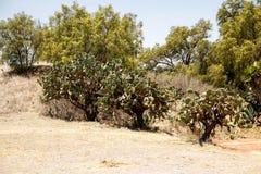 在特奥蒂瓦坎附近,墨西哥考古学公园的仙人掌  免版税库存图片