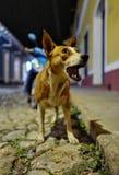在特立尼达,古巴的街道上的一条狗 免版税库存照片