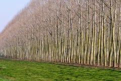 在特罗梅洛, Lomellina (意大利)附近的白杨树 库存图片