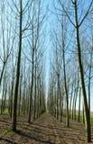 在特罗梅洛, Lomellina (意大利)附近的白杨树 免版税库存照片