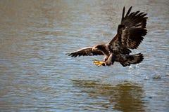 在牺牲者猛扑的老鹰鱼 免版税库存图片