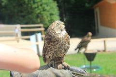 在牺牲者自由飞行展示期间的一只小猫头鹰在Eifelpark,德国 图库摄影