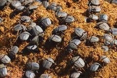 在犀牛粪的甲虫 图库摄影