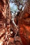 在犹他开槽与生长在它的坚定的树的峡谷在雪峡谷国家公园内 免版税库存图片