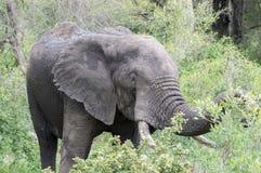 在狂放吃的大象 图库摄影