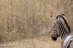 在狂放的一匹斑马在塞内加尔 库存图片