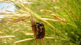 在狂放的一只大甲虫 图库摄影