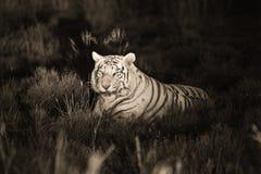在狂放的一只罕见的白色老虎 免版税库存图片