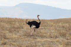 在狂放的一只驼鸟 免版税库存照片