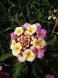 在狂放的五颜六色的花 免版税库存照片
