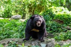 在狂放的亚洲黑熊 免版税库存照片